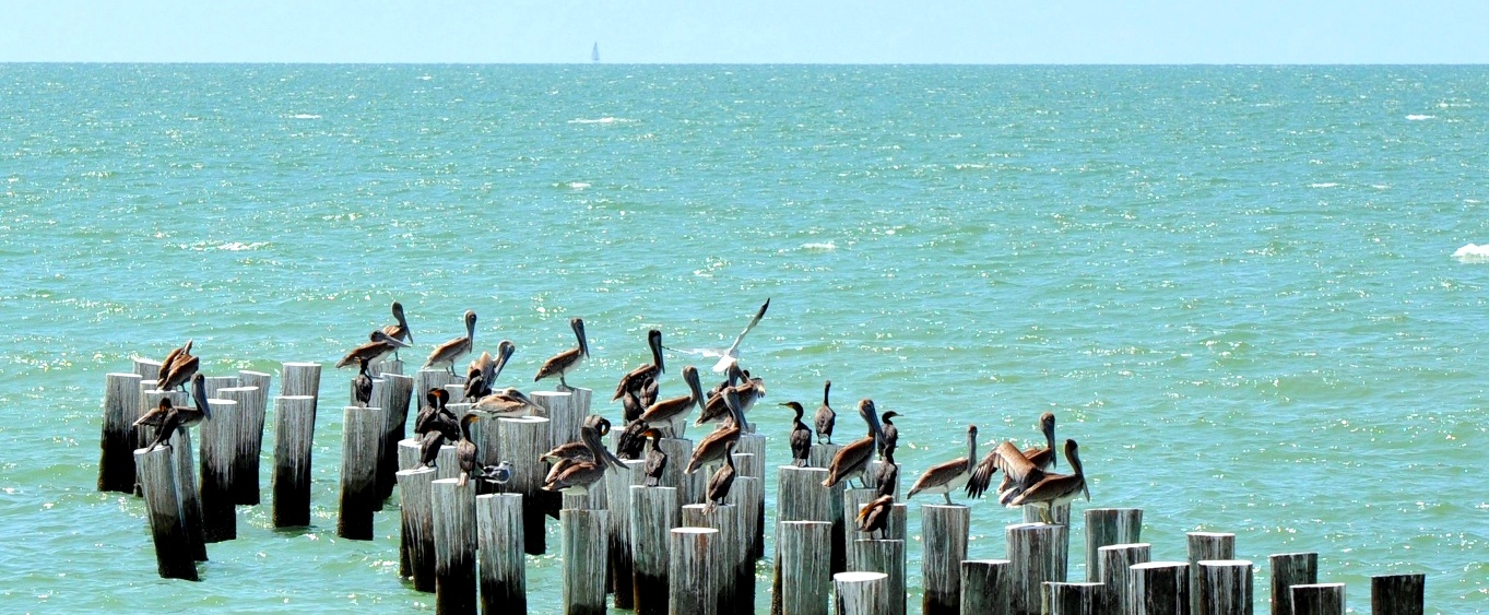 What S Up With All The Pelicans Around Here Naples