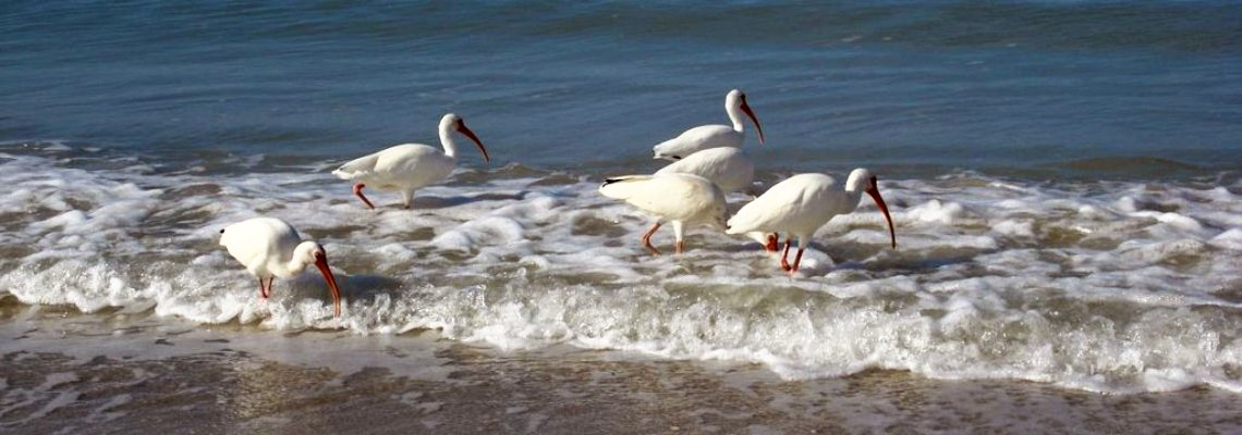 Ibis on Naples Beach